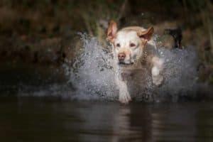 Labrador springt durch Wasser