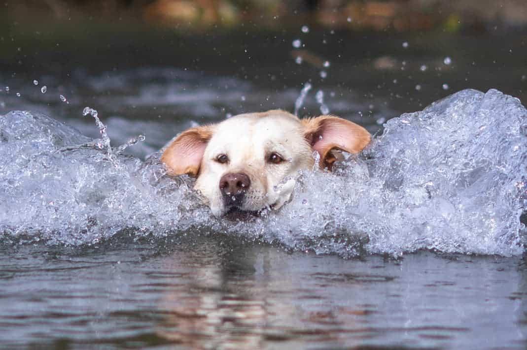 Labrador hat Spaß im Wasser