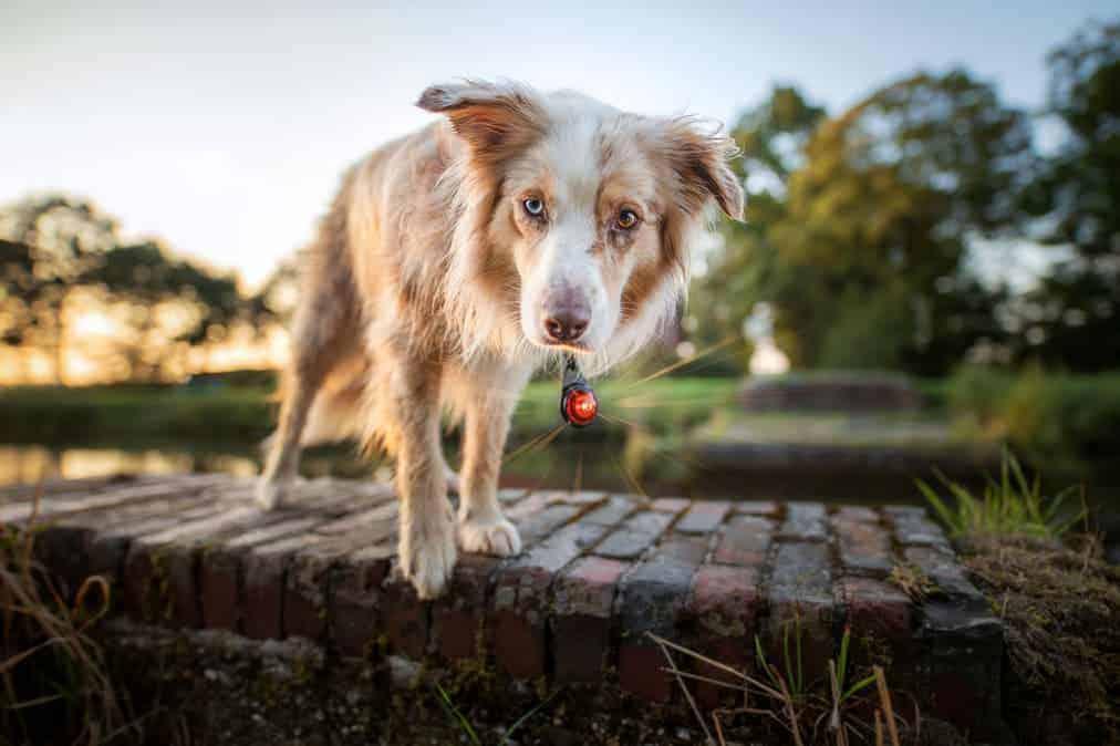 Hund im Dunkeln: Orbiloc Safety Light