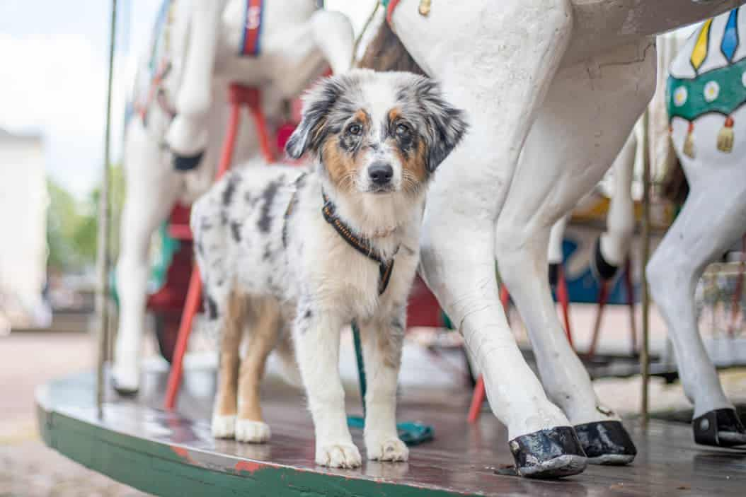 Australian Shepherd in Blue Merle