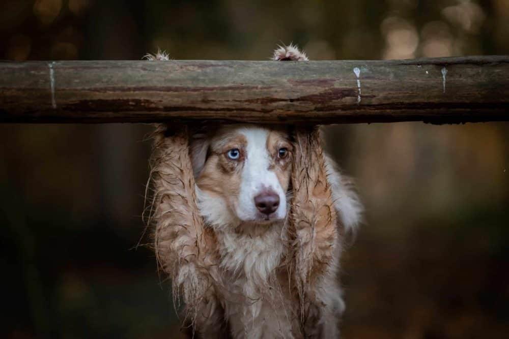 Tricks für Hunde Guck Guck