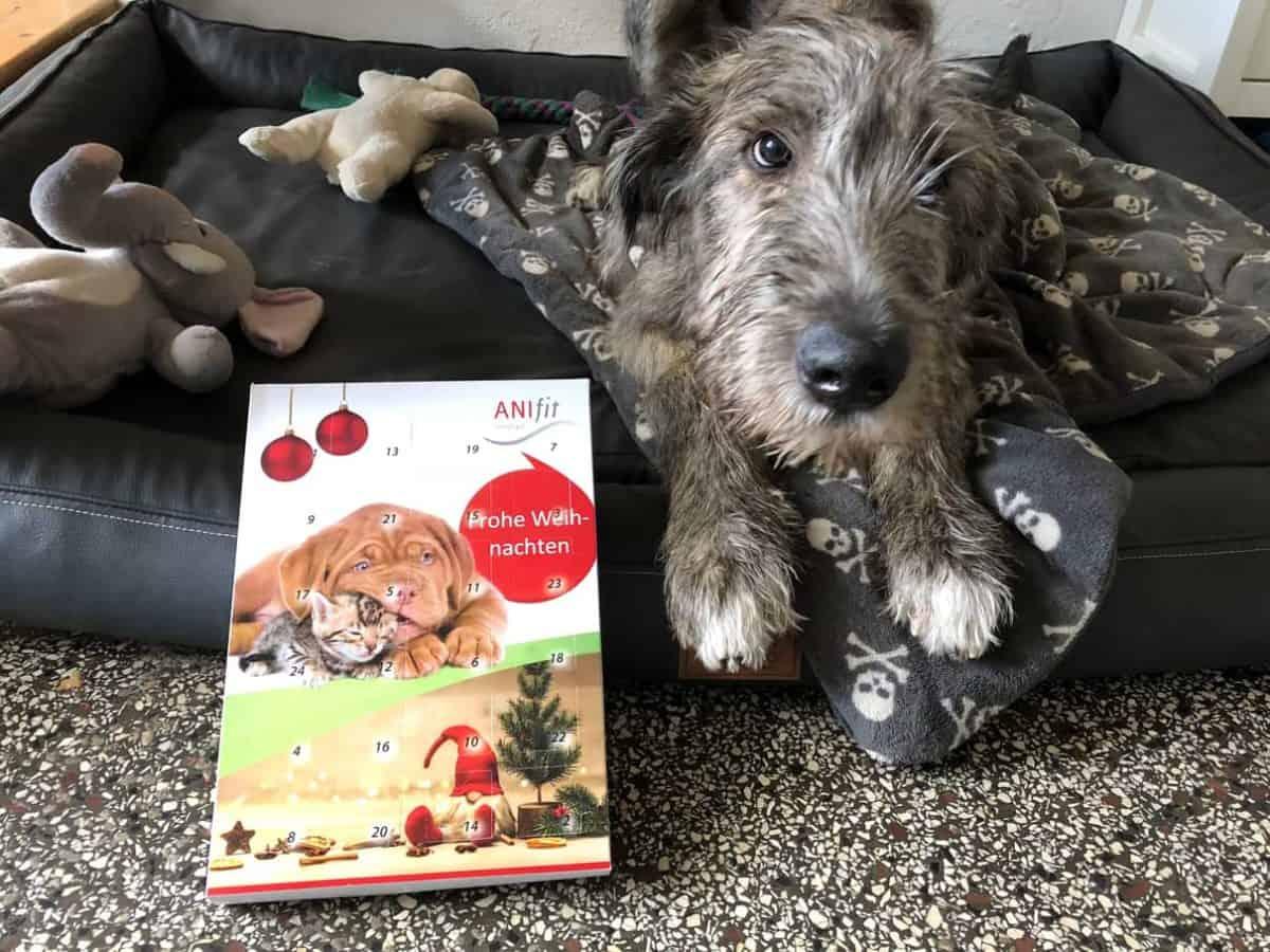 Dexter möchte seinen Adventskalender für Hunde gerne öffnen