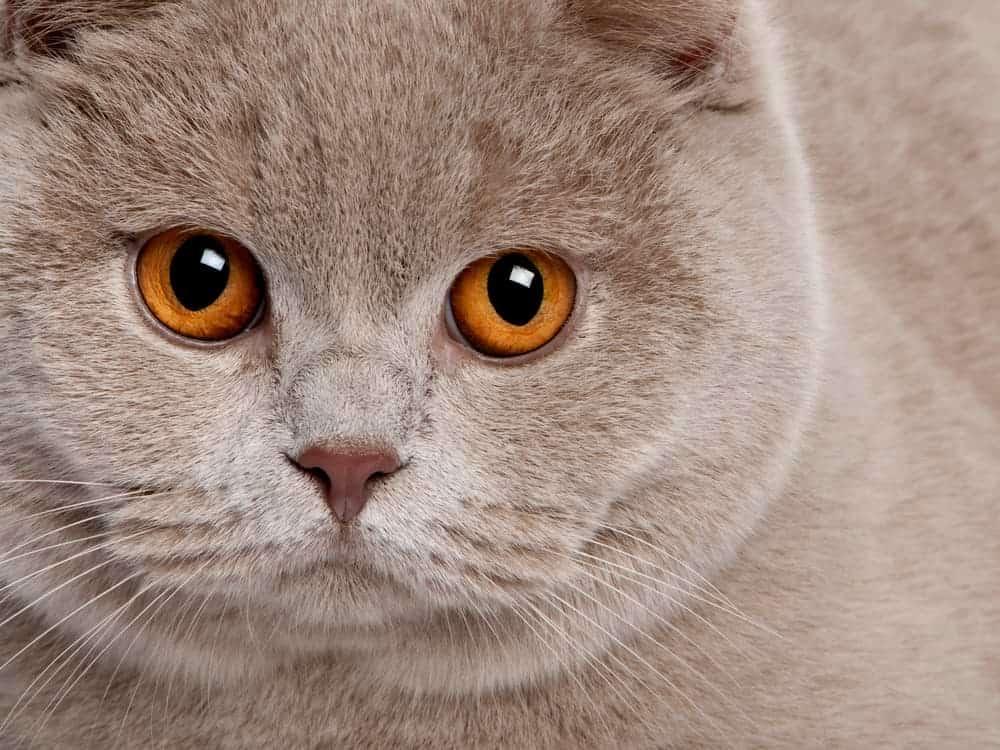 Britsch Kurz Haar Katze