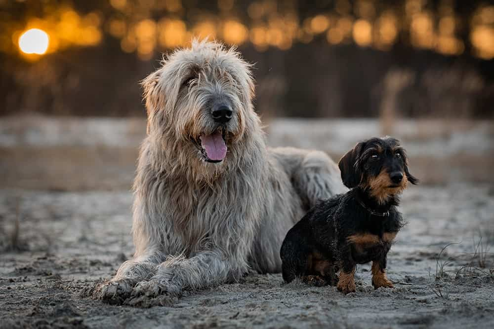 Größenvergleich Dackel und Irischer Wolfshund