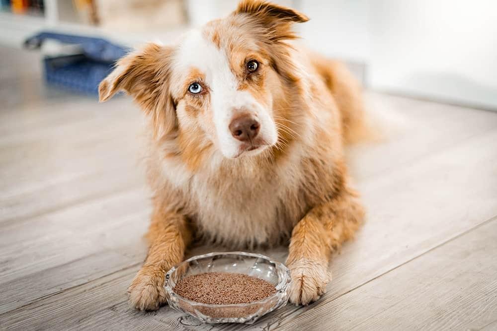 Flohsamenschalen für Hunde – Anwendung und Wirkungsweise