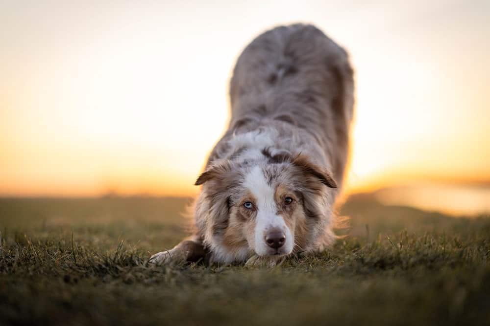 Blähungen beim Hund - die Gebetsstellung
