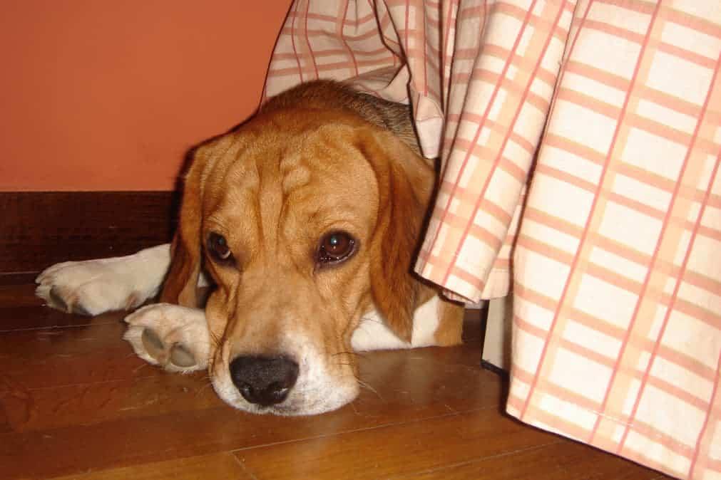Hund liegt unter Bett