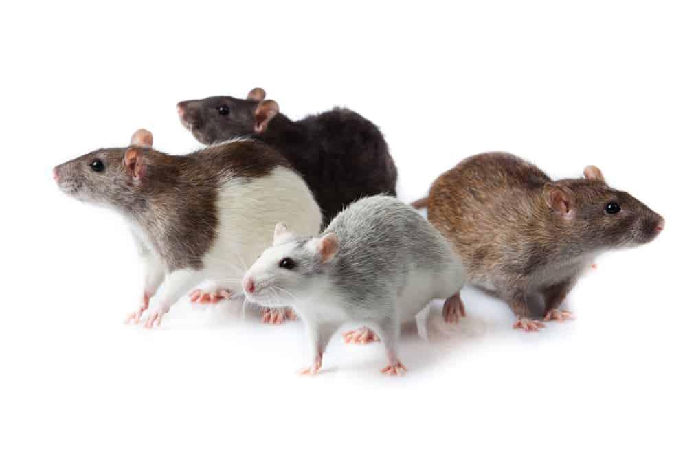 Ratten sind gerne in Gesellschaft