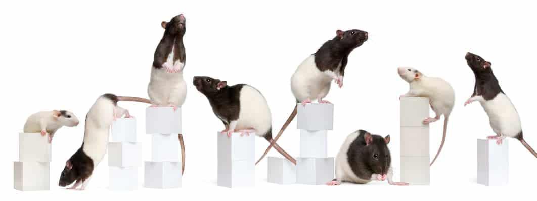 Ratten wollen Beschäftigung