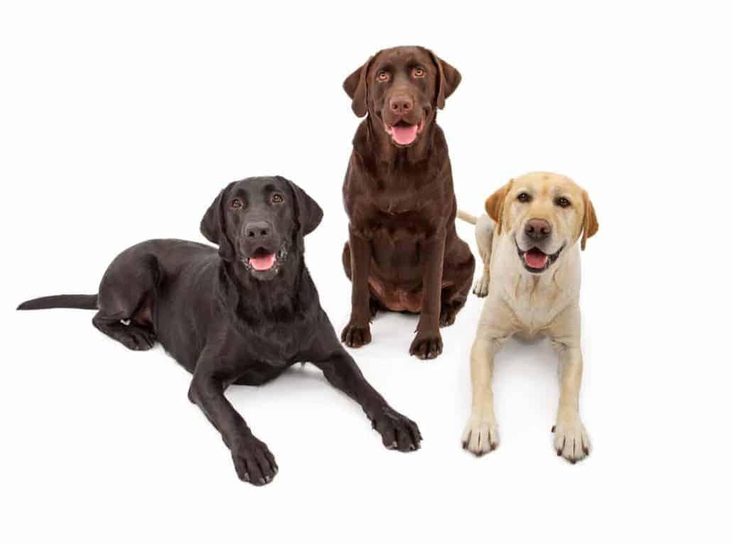 Labrador in verschiedenen Farben