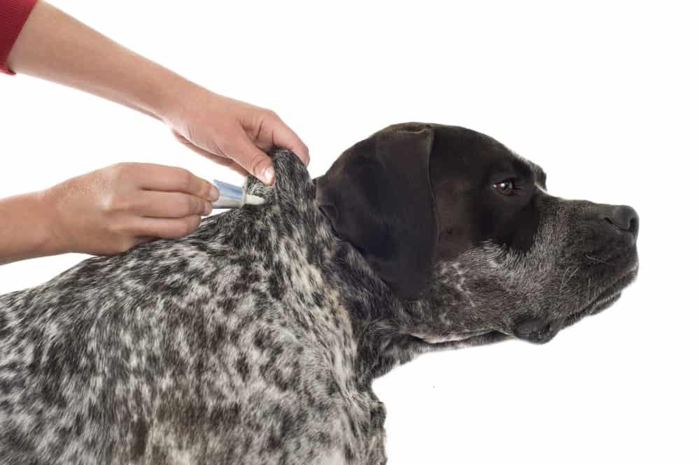 Hund kriegt Spot-on gegen Hundeflöhe
