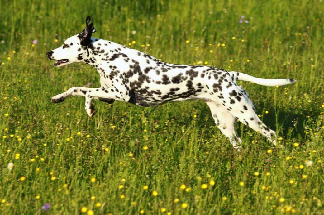 Rasseportrait Dalmatiner