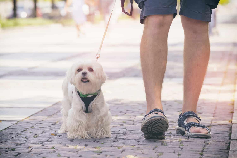 sehr kleiner Hund mit Hundegeschirr