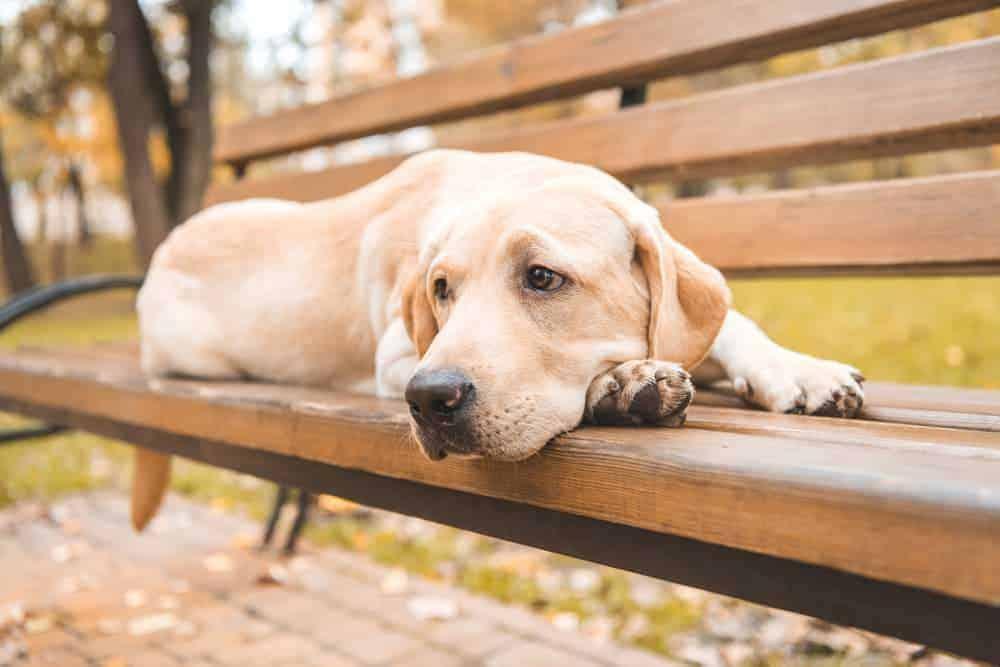 Labrador liegt auf Bank
