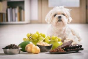 Vergiftung beim Hund durch Lebensmittel