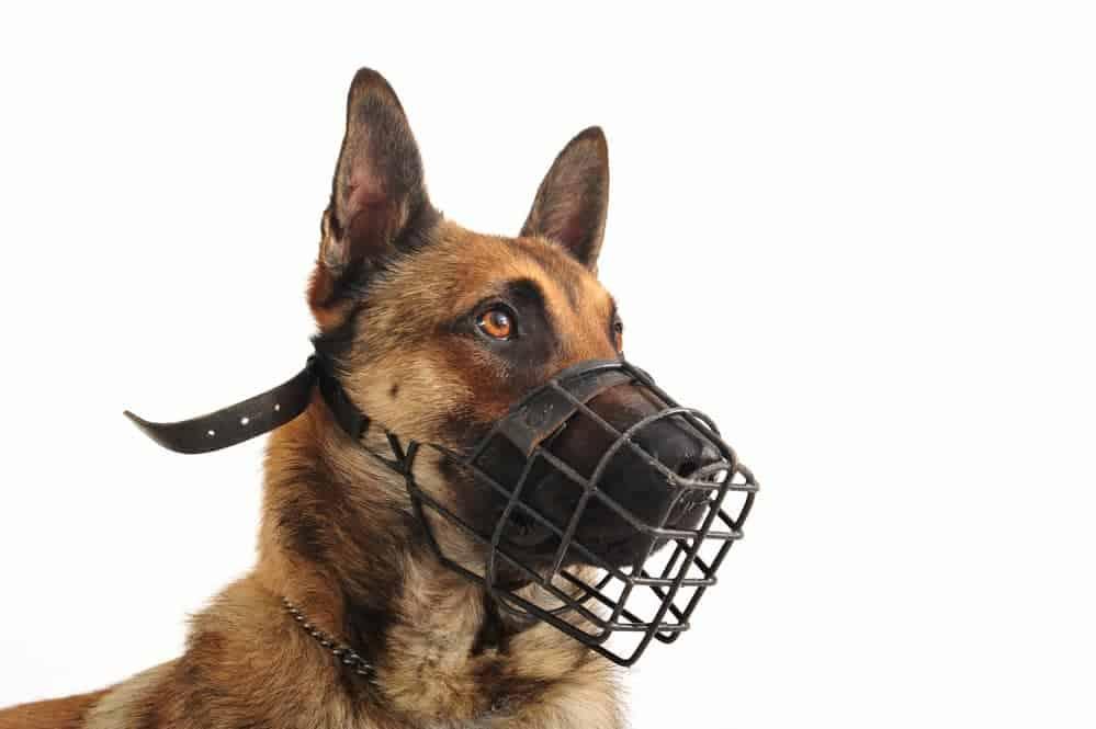 Belgischer Schäferhund trägt Maulkorb