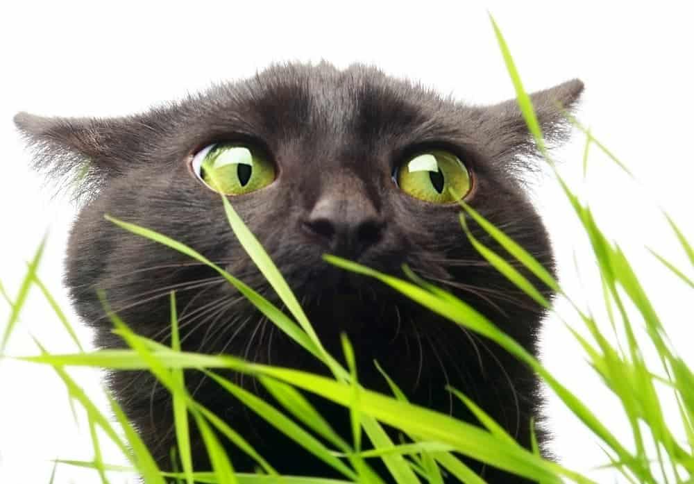 Katze und Gras