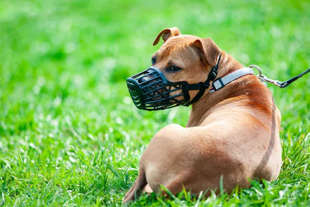 Aggressiver Hund trägt Maulkorb