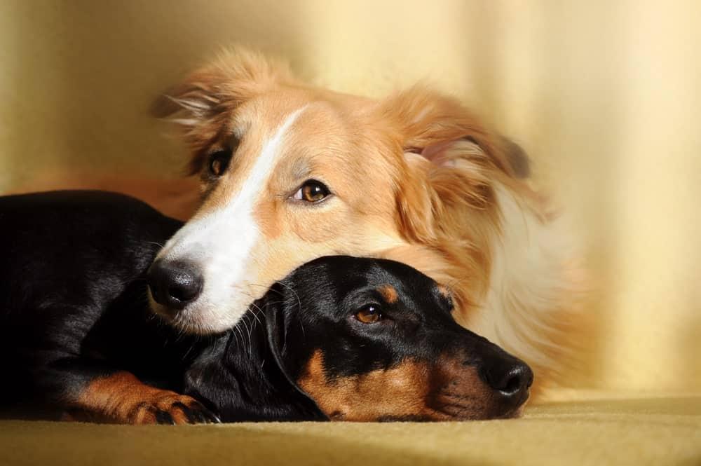 Untergewicht beim Hund: Zwei Hunde kuscheln