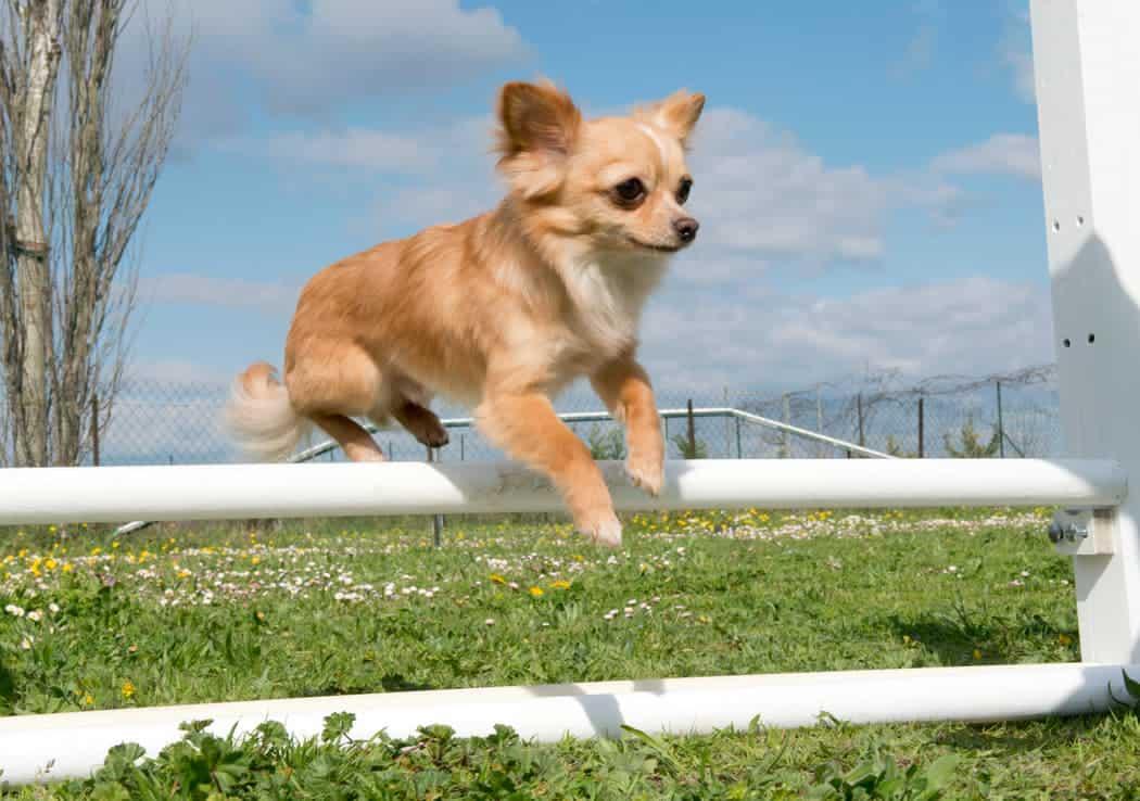 Ein Chihuahua springt über ein Hindernis