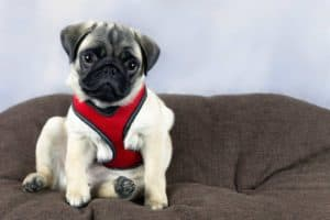 Mops mit Hundegeschirr