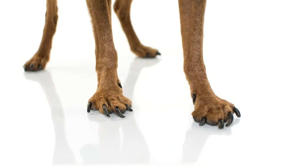 Teufelskralle für Hunde bei Arthrose und Gelenkproblemen