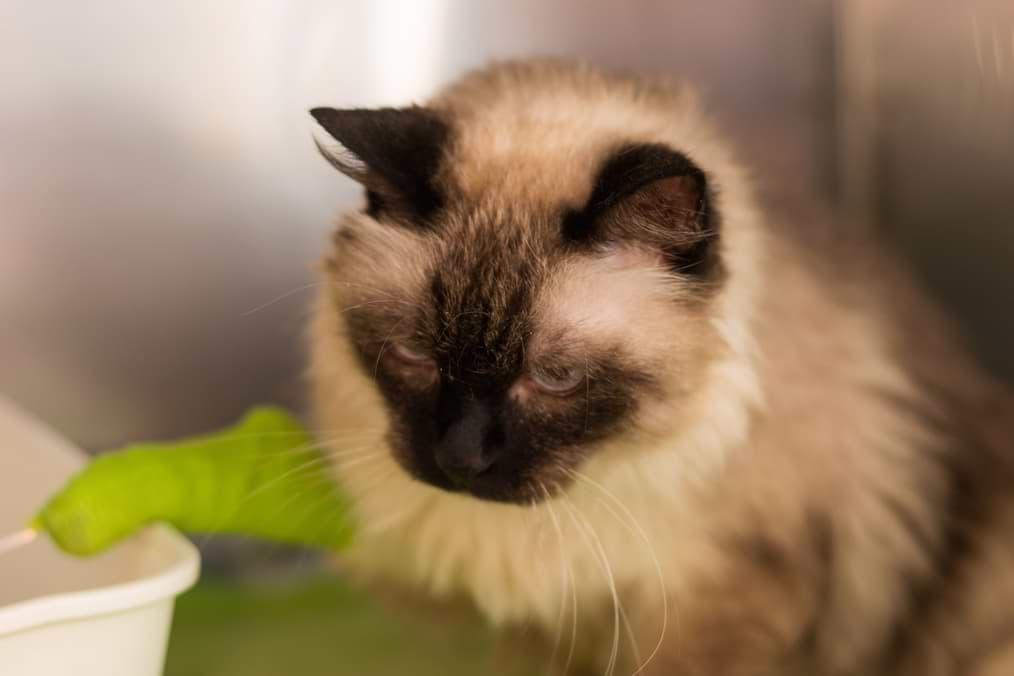 Niereninsuffizienz bei einer Katze