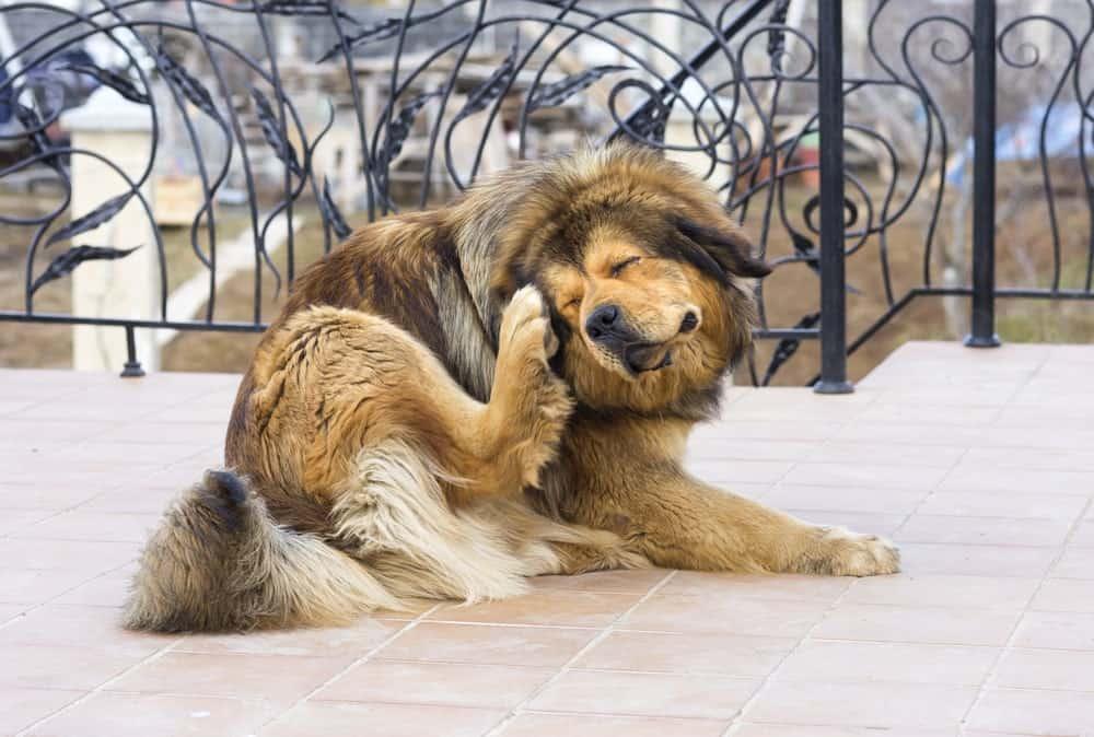 Allergien beim Hund: Hund kratzt sich