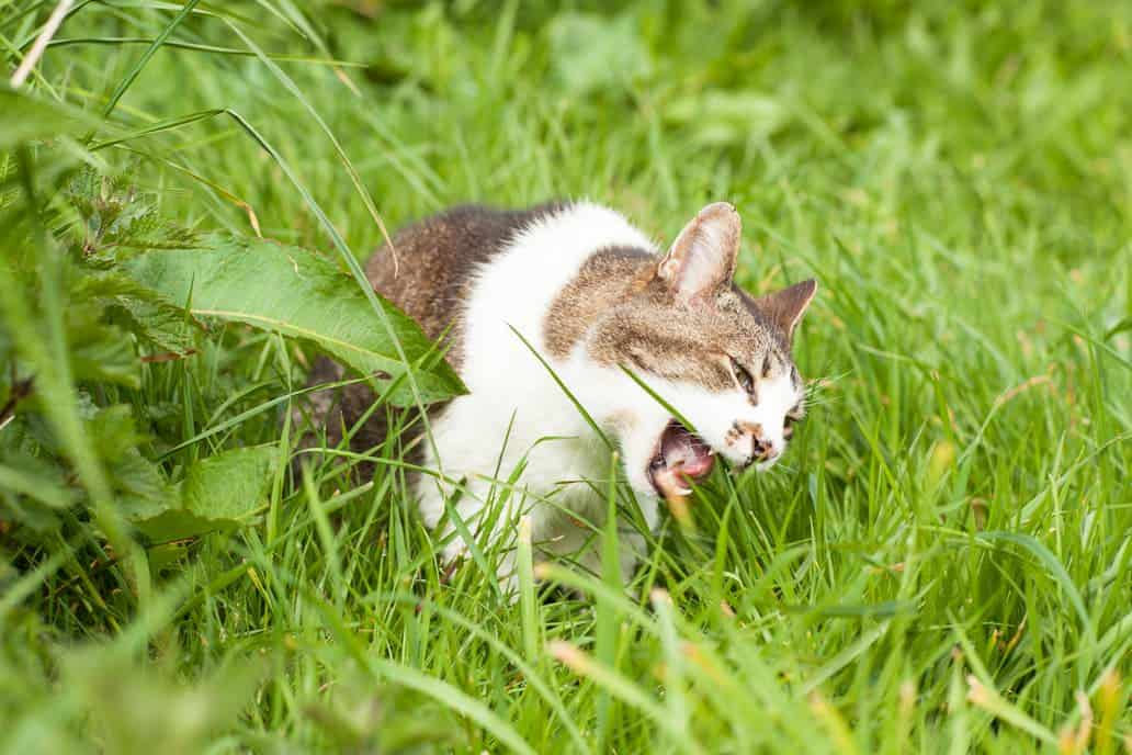 Katze frisst Gras