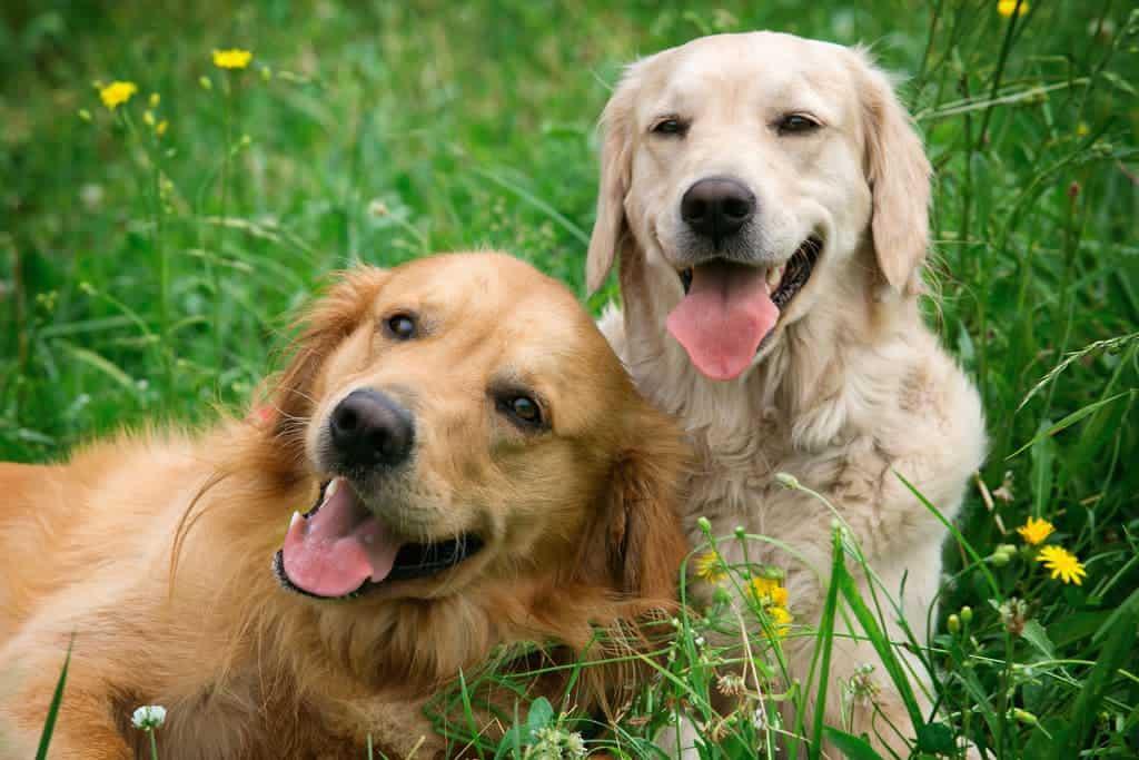 Hunde hecheln