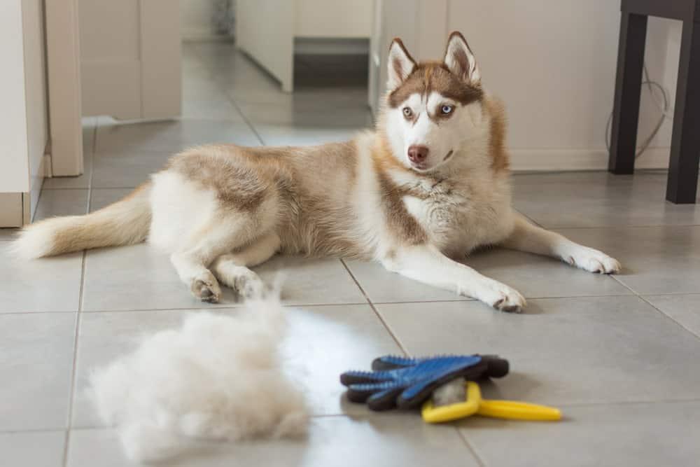 Immunsystem beim Hund durch Fellwechsel geschwächt