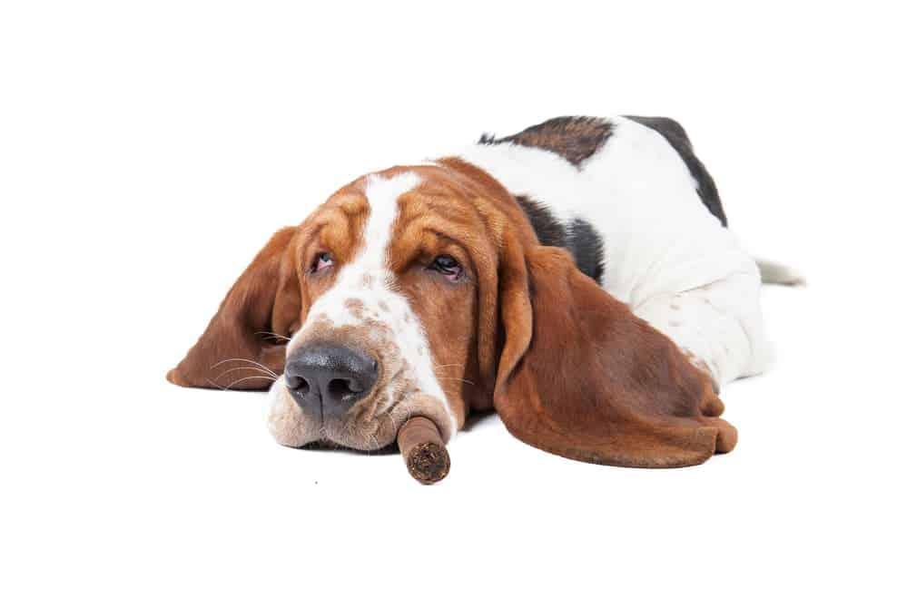 Hund niest: Der Grund könnte Zigarettenqualm sein