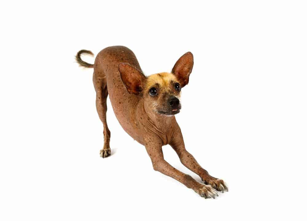 Hundetrick: Verbeugen
