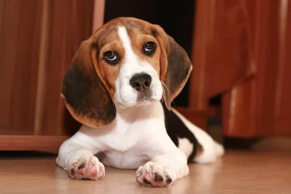Süßer Beaglewelpe