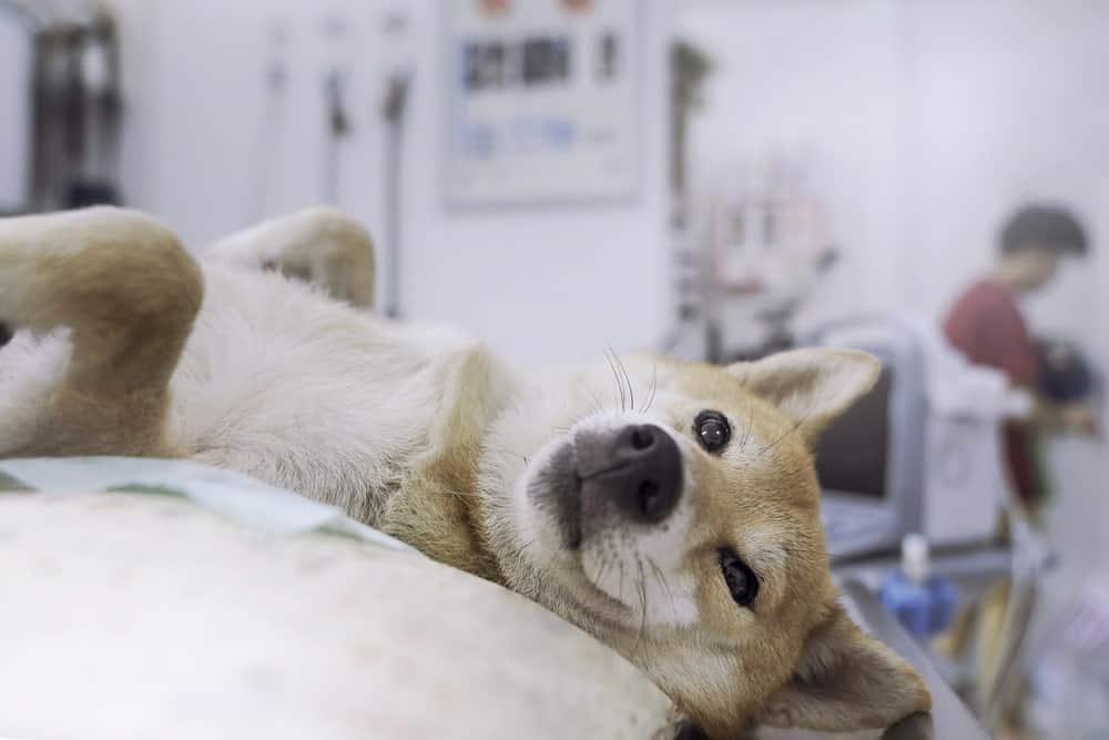 Struvitsteine beim Hund