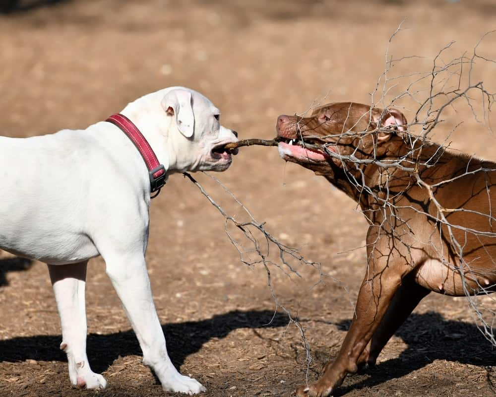 American Pitbull Terrier spielt mit anderem Hund