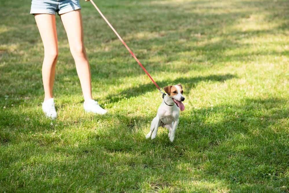 Hund zieht an Leine Leinenaggression