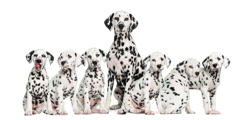Dalmatinerfamilie