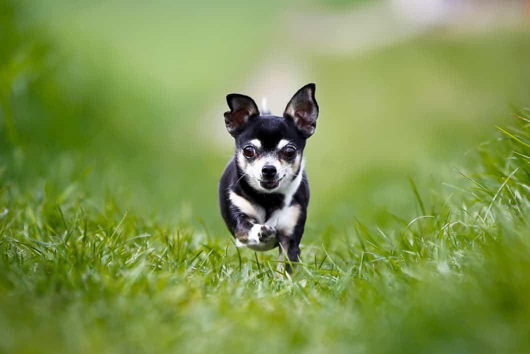 Chihuahua rennt durch Gras