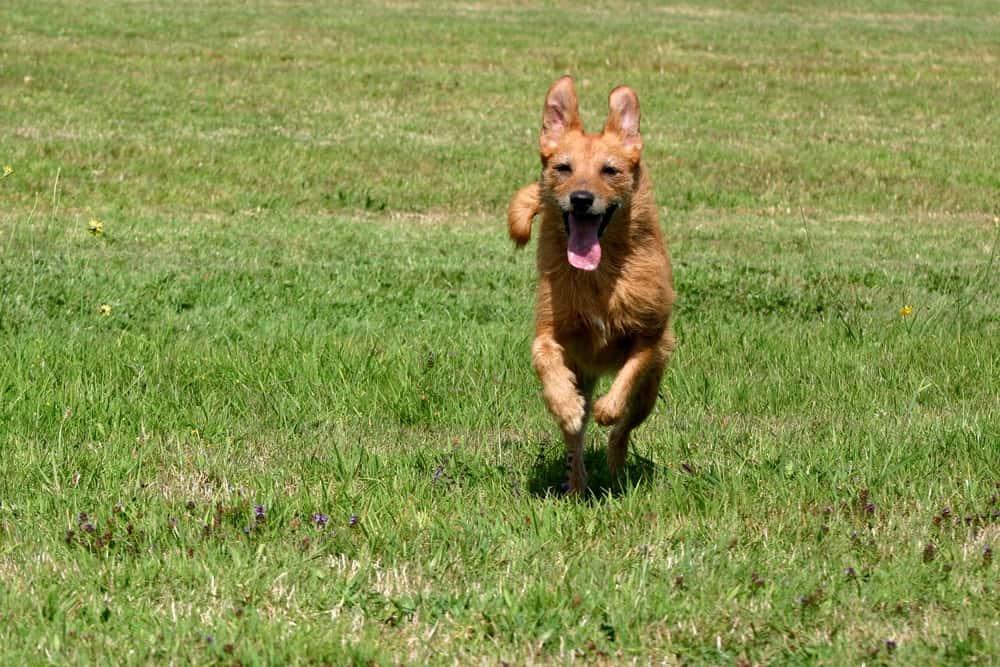 Kurkuma für Hunde macht auch Seniorenhunde agiler