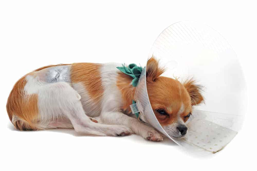 Halskrause für Hunde