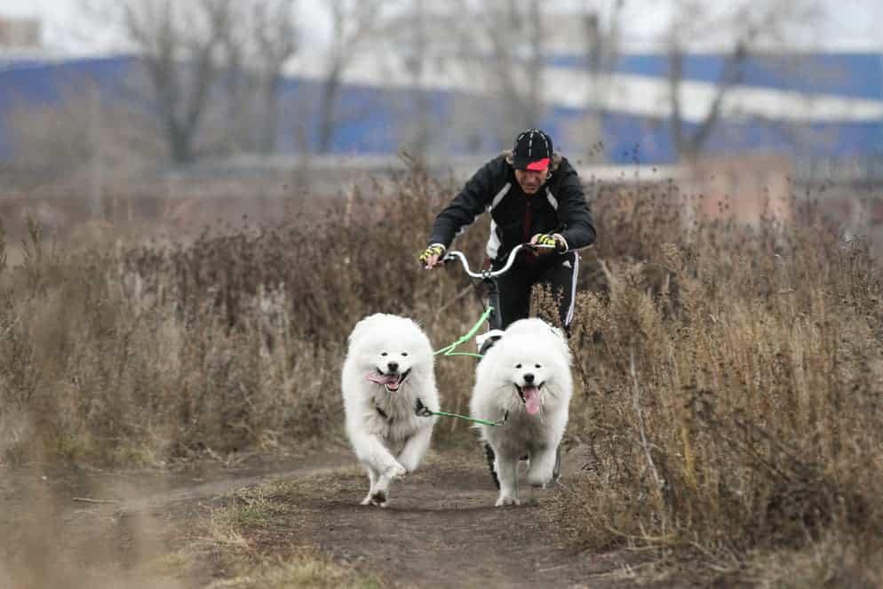 Zwei Hunde am Dogscooter