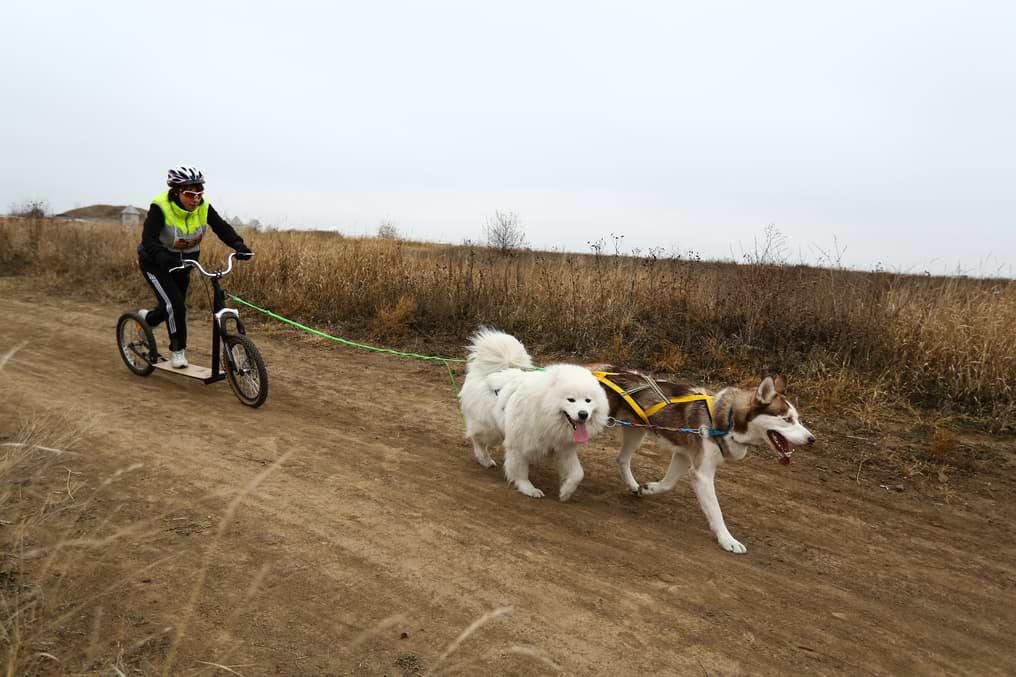 Dogscooting mit zwei Hunden