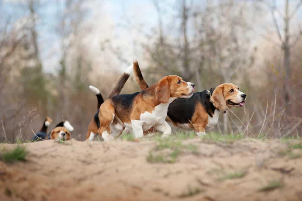 Beagles laufen durch Landschaft