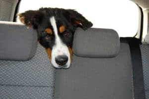 Hund im Kofferraum ohne Hundegitter
