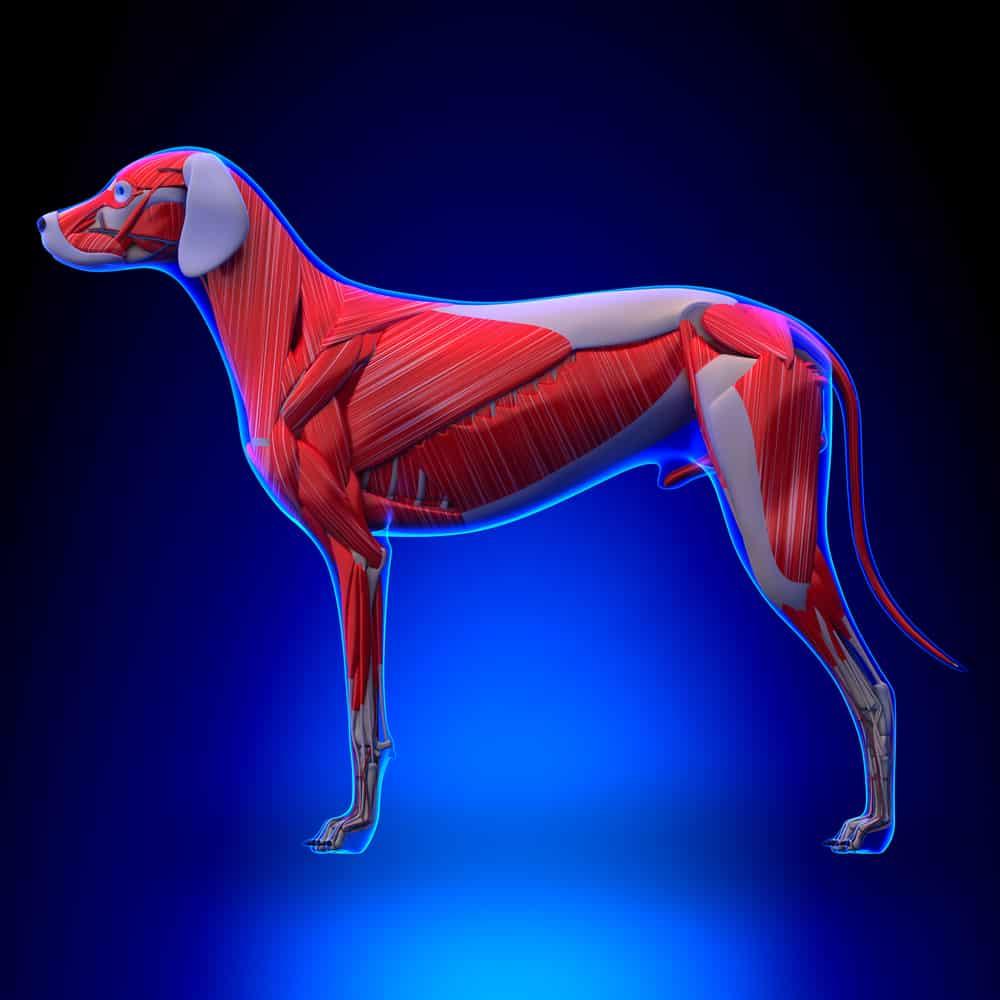 Muskelaufbau beim Hund