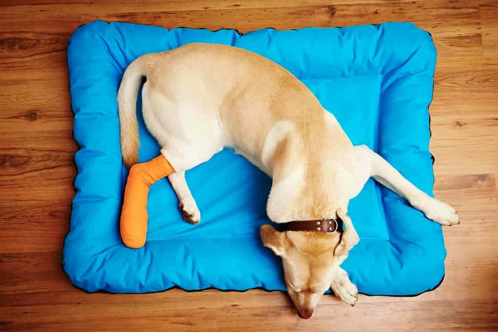 Kreuzbandriss beim Hund