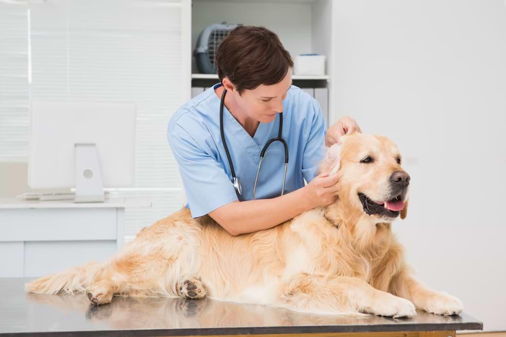 Hund wird von Tierarzt an Ohren kontrolliert