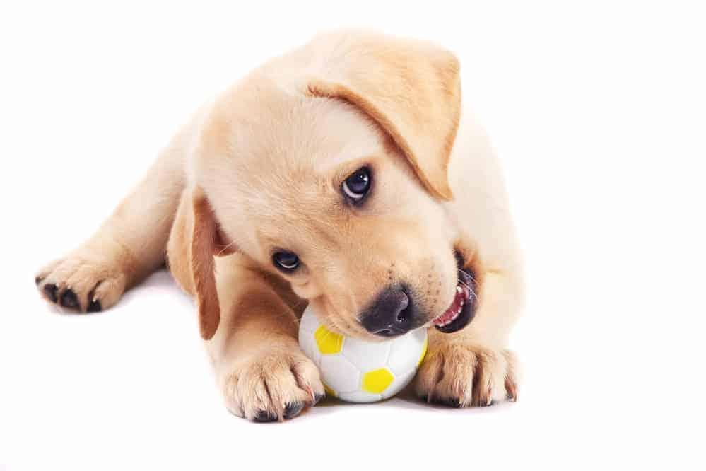 Zerstörungswut beim Junghund