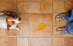Hund pinkelt in die Wohnung